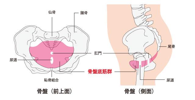 骨盤底筋の画像。骨盤を支えている筋肉のことでここを鍛えると中折れの改善が期待できる