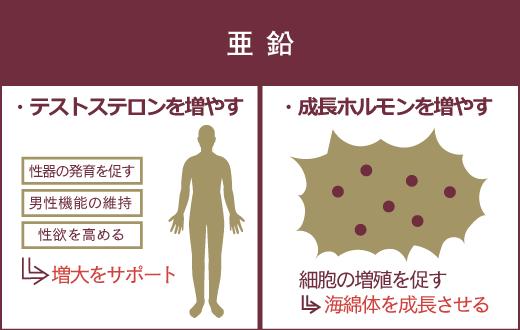 亜鉛は、2つのホルモン分泌を促す