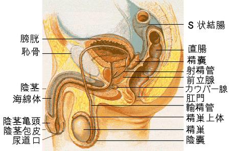 ペニスの大部分は「海綿体」という毛細血管の集合体でできています
