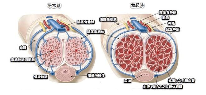 海綿体は毛細血管の集合体で、血液が集まると硬く膨張します。